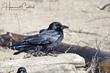 American Crow (03).jpg