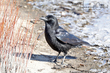 American Crow (first year) (01).jpg