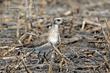 American Golden Plover (spring transition) (05).jpg