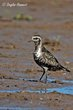 American Golden-Plover (fall transition) (01).jpg
