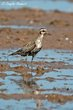 American Golden-Plover (fall transition) (02).jpg