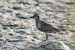 American Golden-Plover (fall transition) (03).jpg