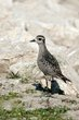 American Golden-Plover (fall transition) (04).jpg