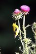 American Goldfinch (02).jpg