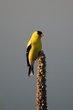 American Goldfinch (03).jpg