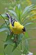 American Goldfinch (04).jpg