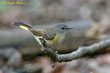 American Redstart (female) (01).jpg