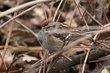 American Tree Sparrow (01).jpg