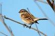 American Tree Sparrow (02).jpg