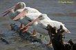 American White Pelican (01).jpg