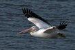 American White Pelican (02).jpg