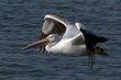 American White Pelican (03).jpg