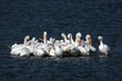 American White Pelican (04).jpg