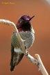 Annas Hummingbird (03).jpg