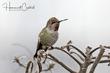 Annas Hummingbird (04).jpg