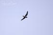 Antillean Nighthawk (01).jpg