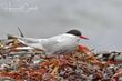 Arctic Tern (02).jpg
