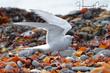 Arctic Tern (03).jpg
