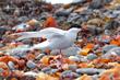Arctic Tern (04).jpg