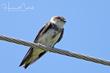Bank Swallow (01).jpg