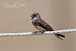 Bank Swallow (02).jpg