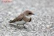 Bank Swallow (immature) (01).jpg