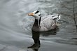 Bar-headed Goose (01).jpg