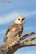 Barn Owl (04).jpg