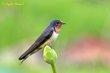 Barn Swallow (female) (01).jpg