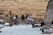 Barnacle Goose (01).jpg