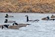 Barnacle Goose (02).jpg