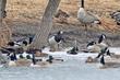 Barnacle Goose (03).jpg
