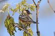 Bay-breasted Warbler (04).jpg
