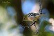 Bay-breasted Warbler (nonbreeding plumage) (01).jpg