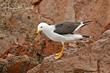 Belchers Gull (01).jpg