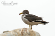Belchers Gull (nonbreeding plumage) (01).jpg
