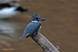 Belted Kingfisher (01).jpg