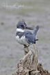 Belted Kingfisher (02).jpg