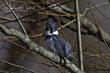 Belted Kingfisher (03).jpg
