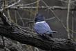 Belted Kingfisher (04).jpg