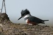 Belted Kingfisher (female) (01).jpg