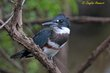 Belted Kingfisher (female) (02).jpg