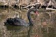 Black Swan (02).jpg