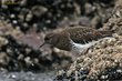 Black Turnstone (01).jpg