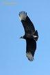 Black Vulture (01).jpg