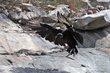 Black Vulture (02).jpg
