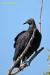Black Vulture (03).jpg
