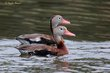 Black-bellied Whistling-Duck (01).jpg