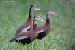 Black-bellied Whistling-Duck (03).jpg