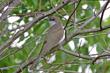 Black-billed Cuckoo (03).jpg